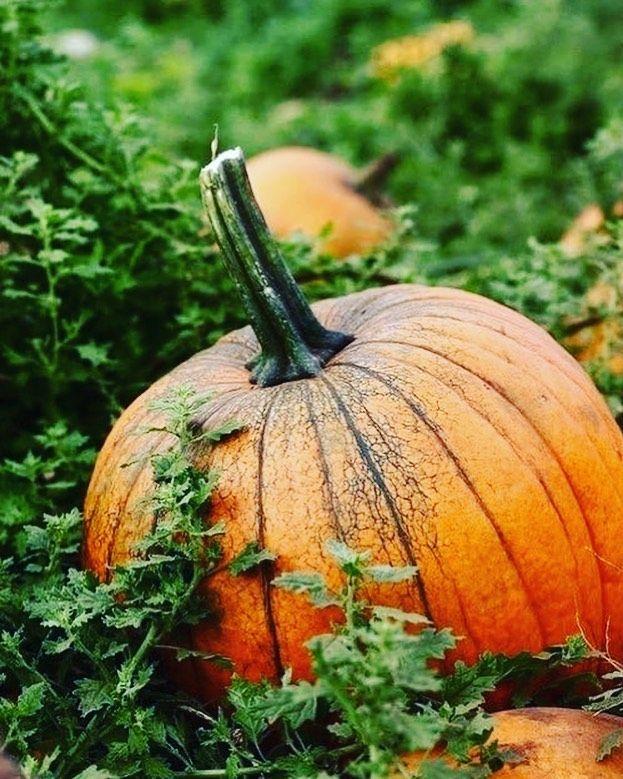 يحتوي اليقطين على العديد من الفوائد لصحة الجسم وهي توجد به نسبة عالية من الحديد مما يحمي من الإصابة بـ الأنيميا مدر جيد ل Pumpkin Beautiful Fall Fall Harvest
