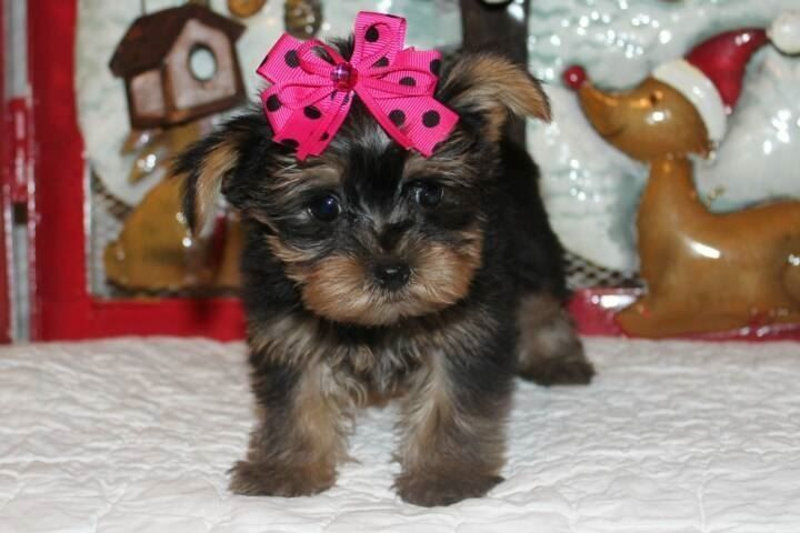 Beautiful Male And Female Yorkie Puppies They Are Purebred Akc
