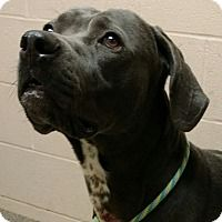 ***URGENT! 2/10/17 Weimaraner Mix Dog for adoption in Troy, Ohio   Midnight was picked up stray. He was running around in Troy. He is available for adoption. He is very energetic and vocal. He would benefit from some training. We are currently working with him to teach him some manners. We estimate his age to be about 2 years old. Stop in and see him soon!