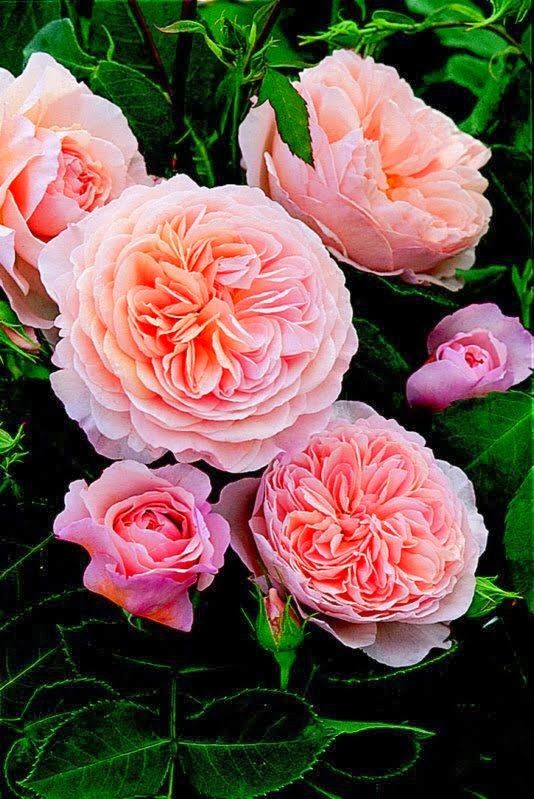 Judy's Cottage Garden: English Roses - Abraham Darby                                                                                                                                                      More