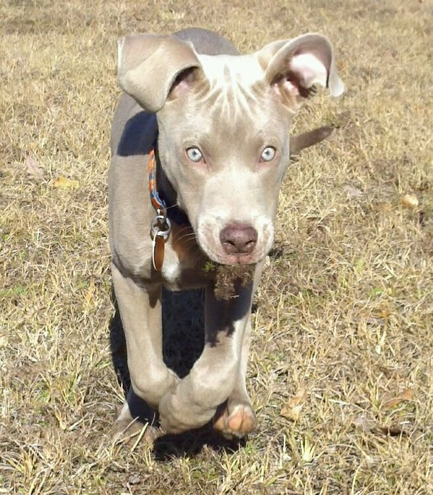 Dobermann pitbull mix welpen