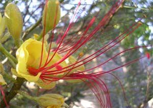 Cultivo de Barba de chivo (Caesalpinia gilliesii) y usos, herbotecnia