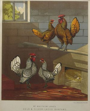 Gold & Silver-Laced Bantams by Vincent Brooks