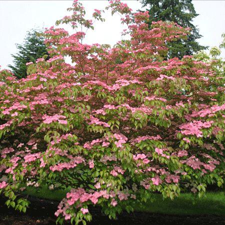 Rosy Teacups 174 Dogwood Dogwood Trees Fast Growing Trees