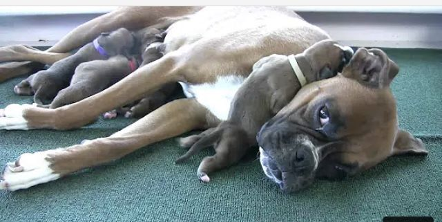Pin By Patti On Cute In 2020 Boxer Puppies Puppies Cute Puppy Videos