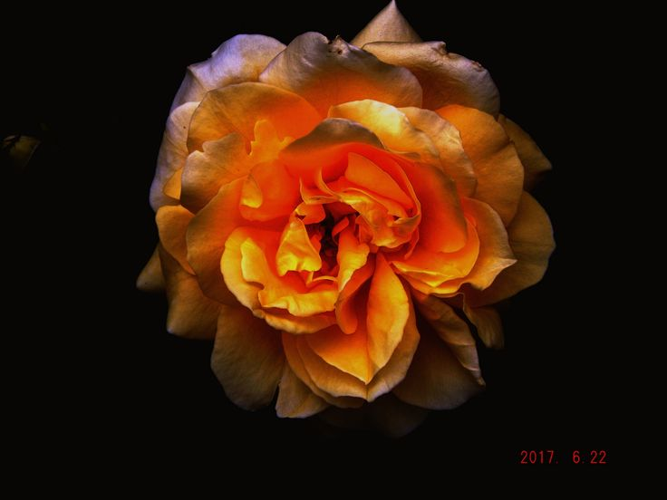 darkly yellow rose.