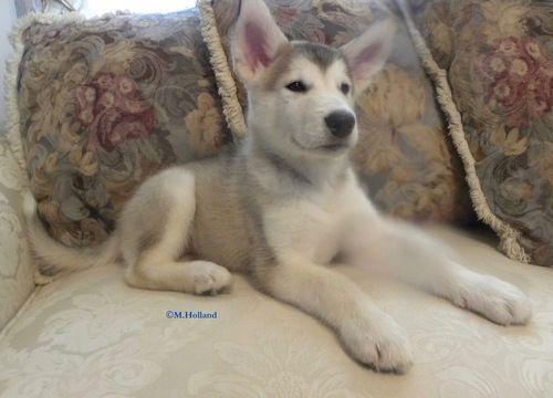 Litter of 5 Alaskan Malamute puppies for sale in CAPRON, VA. ADN-63951 on PuppyFinder.com Gender: Male. Age: 9 Weeks Old