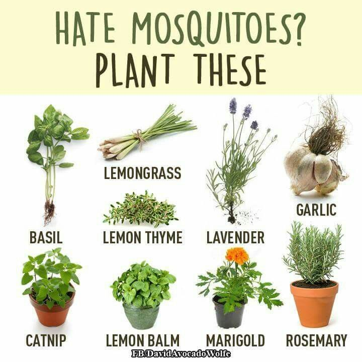 Mosquito Repelling Herbs Google Search Plants