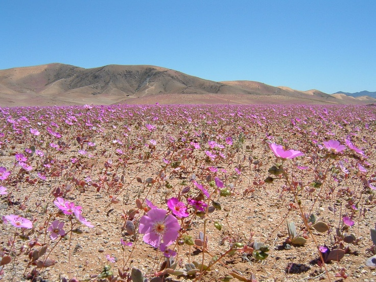 Desert in bloom, Copiapo, Atacama, Chile