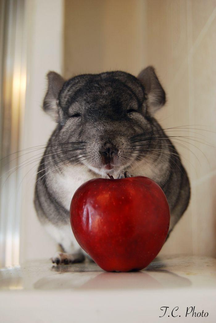 Sweet Apple Face Chinchilla