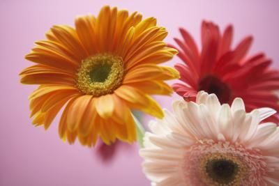 One of my all time favorites! Gerbera Daisies!