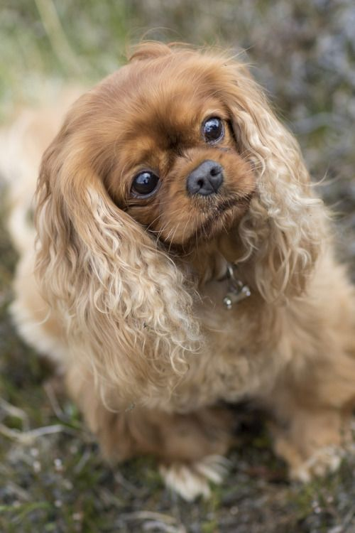 301 Best Images About Ruby Cavalier King Charles