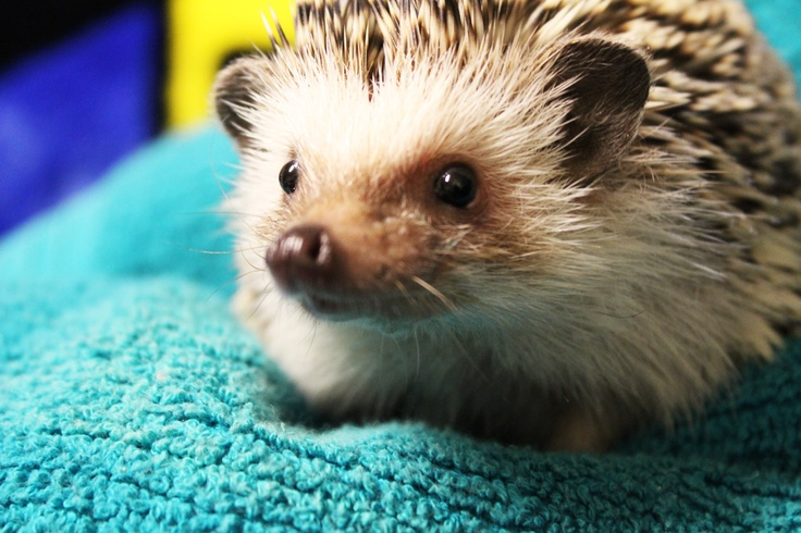 1343 best images about igel photos on pinterest baby porcupine albino hedgehog and hairbrush. Black Bedroom Furniture Sets. Home Design Ideas