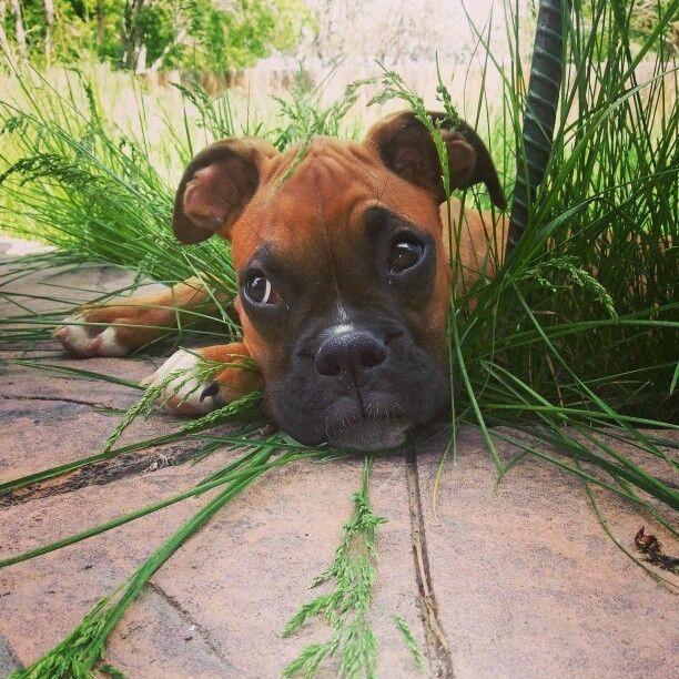 Boxer In The Garden Boxerdogshumor Boxer Dogs Boxer Puppies Boxer Dogs Facts