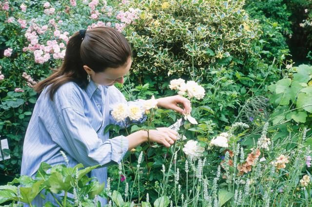 Many gardeners worry pruning their roses will hurt them. Pruning is actually a good way to keep your roses healthy and blooming. Learn how to do it right, with these tips.
