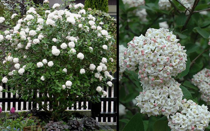 Fragrant Snowball viburnum, Viburnum carlcephalum, is well known for it's unique, snowball-shaped, fragrant flower clusters that appear in abundance during the spring season.