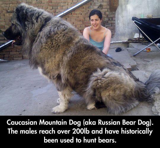 Caucasian Mountain Dog - Husky Lovers