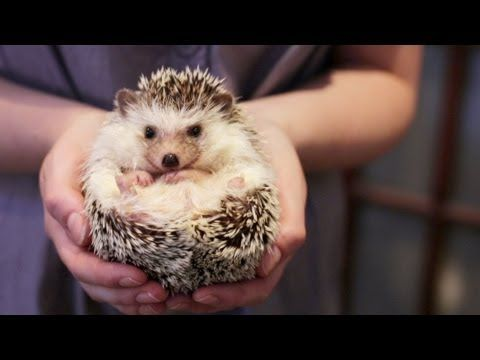 OWNING A PET HEDGEHOG FACTS - UPDATED - YouTube