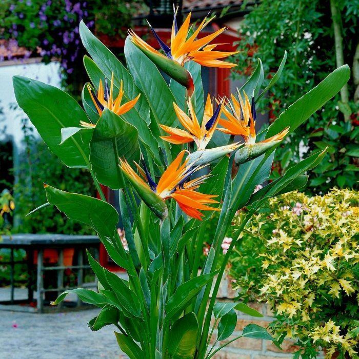 Znalezione obrazy dla zapytania kwiaty egzotyczne na balkon
