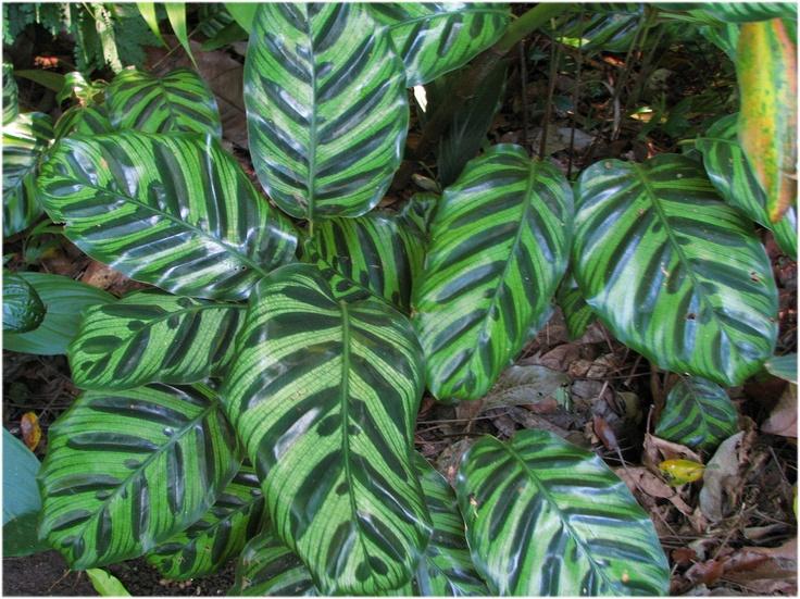 CALATHEA MAKOYANA: Nomes populares: Maranta-pavão , Calatéia-pena-de-pavão/ Tipo: Herbácea/ Família: Marantaceae/ Altura: 0,4 m/ Diâmetro: 0,6 m/ Ambiente: Meia-sombra, Sombra/ Clima: Tropical, Tropical de altitude, Tropical úmido/ Origem: Brasil/ Época de Floração: Verão/ Persistência das folhas: Permanente/ Obs: Folhas verde-clara e escuras na face inferior e arroxeadas na inferior. A face inferior possui o mesmo desenho da face superior.