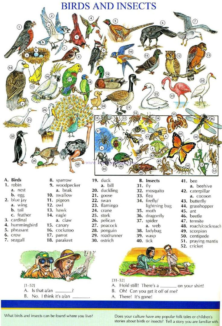 114 - BIRDS AND INSECTS - Pictures dictionary - English Study, explanations, free exercises, speaking, listening, grammar lessons, reading, writing, vocabulary, dictionary and teaching materials