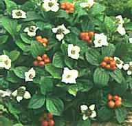 C. canadensis regentuin half schaduw eetbare bes 20 cm hoog