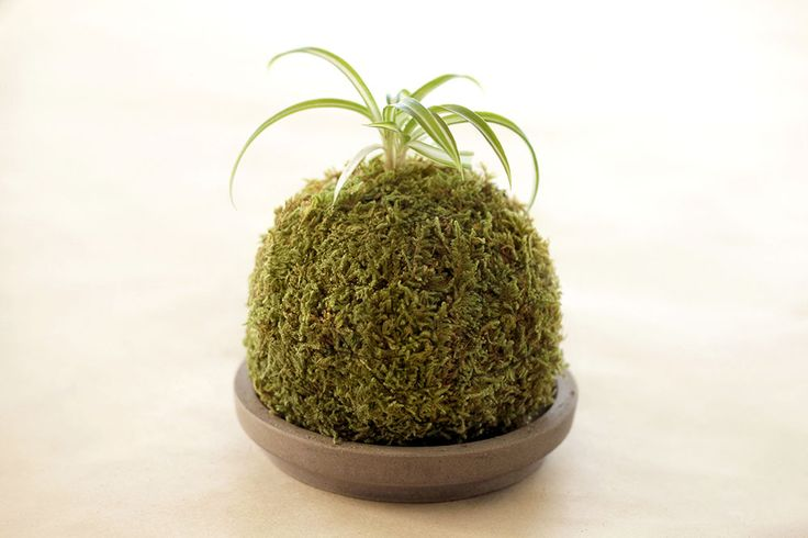Making a kokedama with cat litter