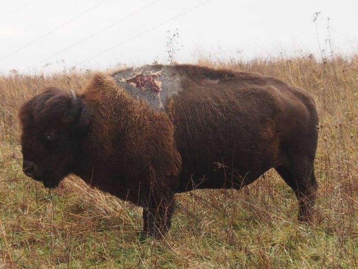Check out Bison Survives Being Struck by Lightning at http://survivallife.com/2016/01/06/bison-survives-being-struck-by-lightning/