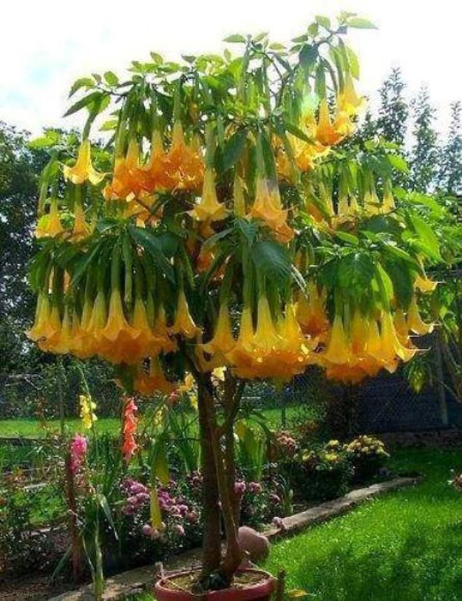 brugmansia commonly known as angel 39 s trumpet brugmansia. Black Bedroom Furniture Sets. Home Design Ideas