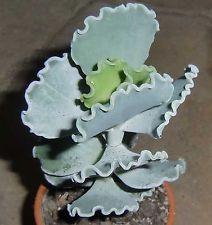 Cotyledon undulata 11cm RARE Succulent Plant Crassula Ariocarpus Astrophytum E