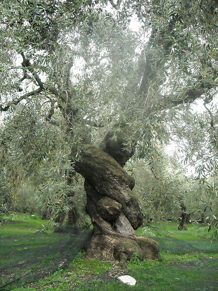 Absolutely amazing olive tree!