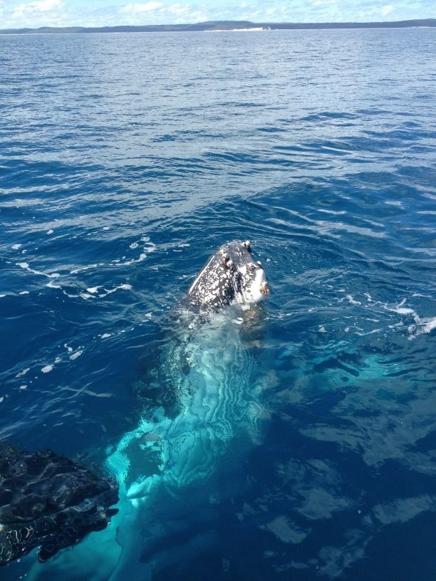 Whale Watching in Hervey Bay, Queensland, Australia.  Humpbacks can be seen from June to November.