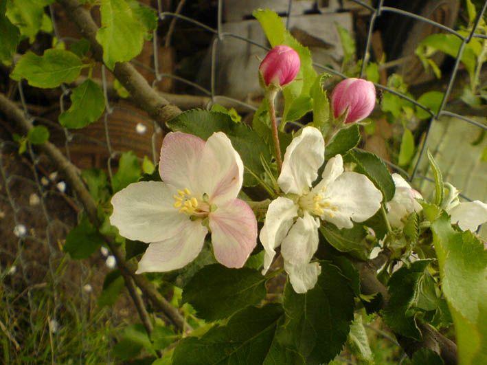 Apple tree blooming in my parents' garden