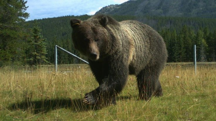Grizzly bear researchers in the Banff region say they've found an improved way to study bear populations.