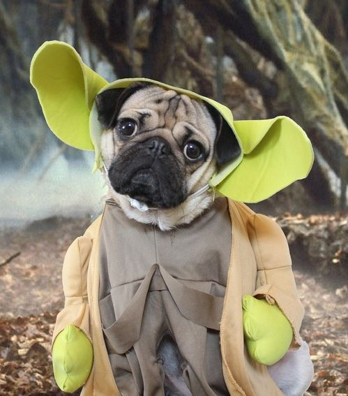 Doug the Pug dressed up as one of our all time favorite Jedi, Yoda!