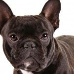 The French Bulldog, also affectionately called Bully, comes from the old English bulldog. As the name deductible, the French bulldog was originally bred as a mastiff and hound. In the 19th century, when dog fighting was prohibited in England, the Weber and...