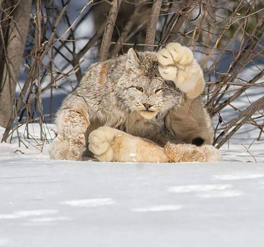 A Canada Lynx. Look at the size of those paws.