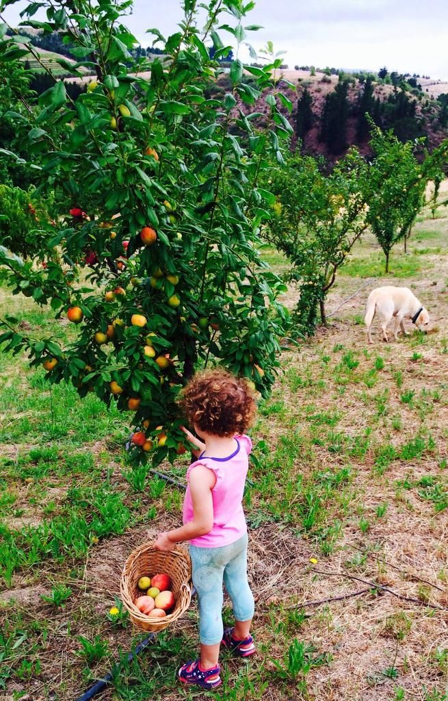 #discoverOverberg at Oneiric everyone  gets involved.. my niece a fruit picker in the making