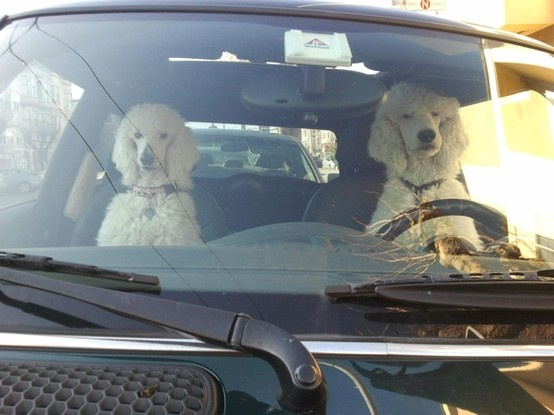 The poodle always wants to drive!