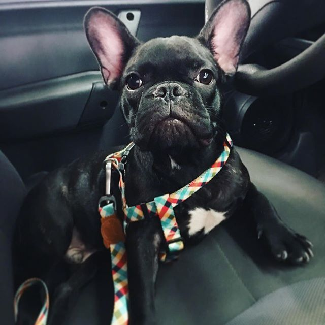 Virei motorista de Uber . #driver #frenchie #frenchielovers #bulldog #bulls #doglover #frenchbulldog #buldoguefrances #bouledoguefrancais #dogs #catioro #perro #chien #puppy #filhote #5meses