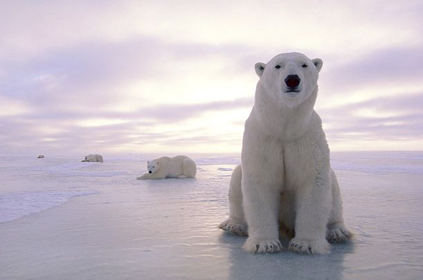 Polar Bear - fewer than 25,000 Human development and poaching have long threatened the polar bear, but climate change and the loss of sea ice are now pushing it onto the critical list.
