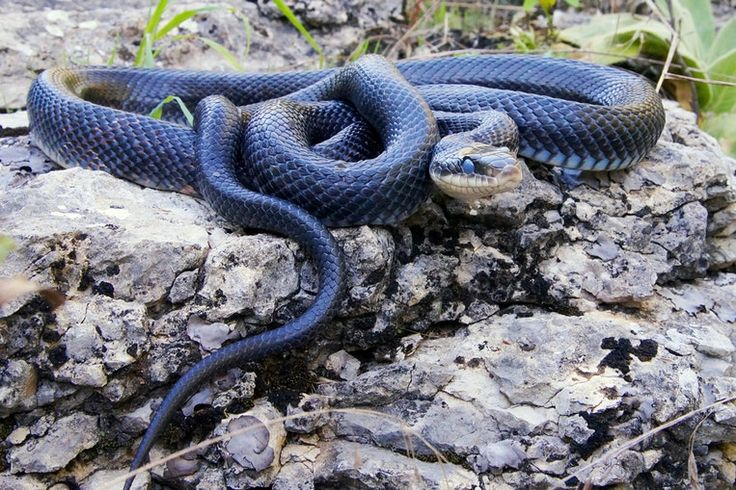De 5 gevaarlijkste gifslangen ter wereld :ZWARTE MAMBA  (Centraal- en Zuid-Afrika)