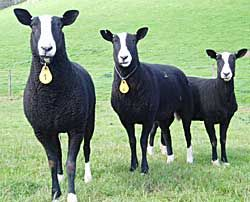 Zwartbles..  is a breed of domestic sheep originating in the Friesland region of the north Netherlands. There it was primarily used for the production of sheep milk as well as lamb and mutton. They were often kept alongside dairy cattle herds.