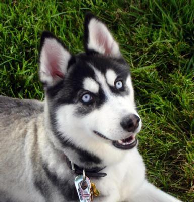 Husky Malamute Dog Sled Racing Winterfest Taupo 2013