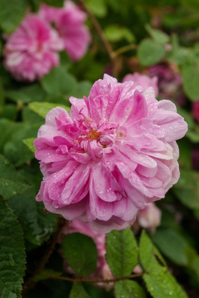 Rosa centifolia muscosa 'Zoe' | Zon IV. Gammaldags buskros, mossros, med halvfyllda och skålformade, runda och mellanrosa blommor. Doftar först harts/kåda sedan av frukt. Mossan' doftar stakt av kåda som, i kombination med blommans egen doft, kan vara väldigt tilltalande. Bildar en konventionell buske med mycket mossa på foderbladen, på småbladen och blomskaften. 1x0.8m. Pradel (Frankrike 1861).
