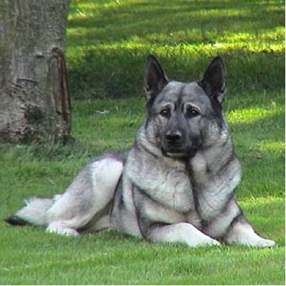 I had a Norwegian Elkhound once.  He was so smart I named him Harvard.  He was also the toughest and most courageous dog I've ever owned.  He passed in '96 and I still miss him to this day.