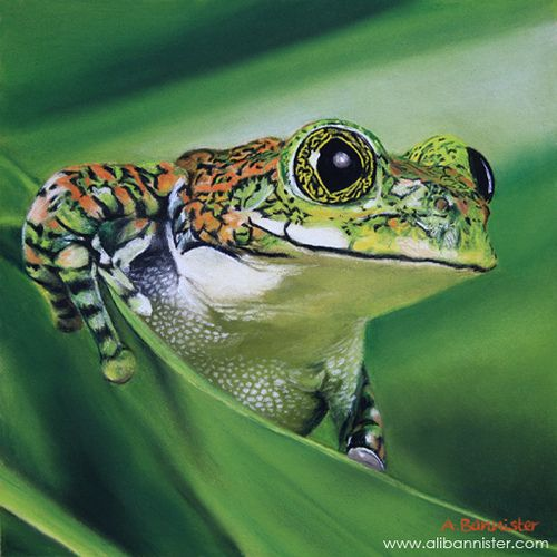 The big-eyed tree frog, or peacock tree frog (Leptopelis vermiculatus) is a species of frog found in forest areas in the African country of Tanzania. In some literature, it is referred to as the Amani forest tree frog.