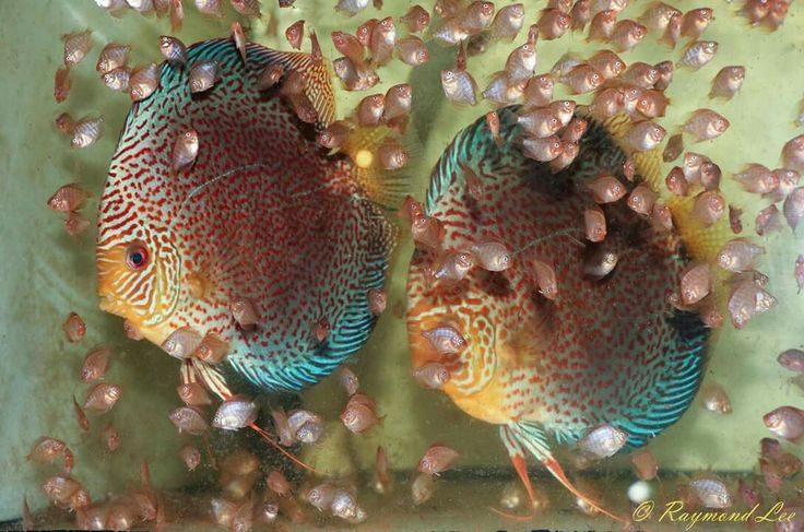 Most Colorful Freshwater Tropical Fish 1000+ images about Dis...