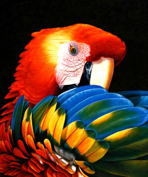 Plume perroquet click here to find out more animals bugs birds - Perroquet en dessin ...