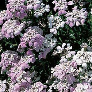 17 best images about iberis on pinterest gardens sun for Pink flower perennial ground cover